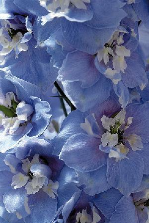 Delphinium Sky Blue with White Bee