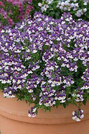 Nemesia Berries & Cream