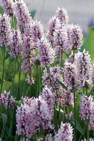 Stachys Summer Crush
