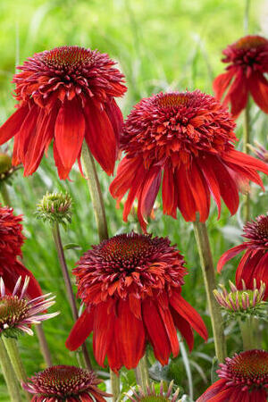 Echinacea Mixed Collection
