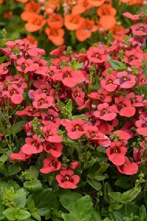 Diascia Breezee Red