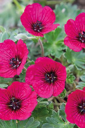 Geranium Jolly Jewels Red