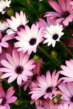 Hardy Osteospermum Mixed Collection