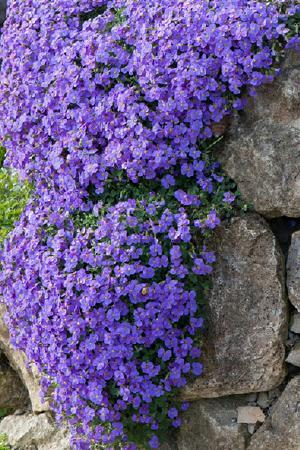 Aubretia Royal Blue