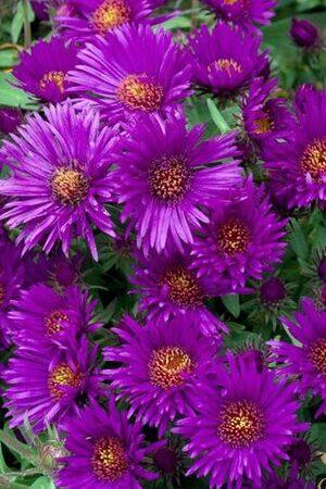Aster novi-belgii Purple Dome
