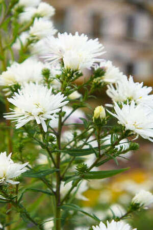 Aster novi-belgii White Ladies