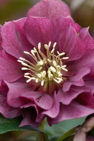Helleborus Double Red Ellen