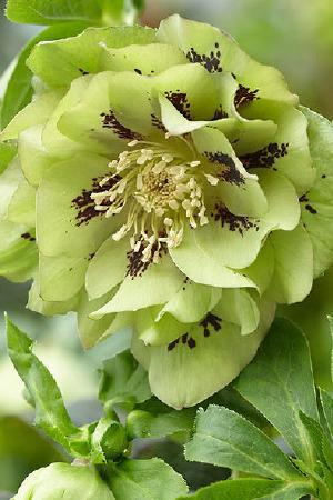 Hellebores Double Ellen Green