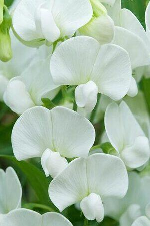 Lathyrus Latifolius Collection