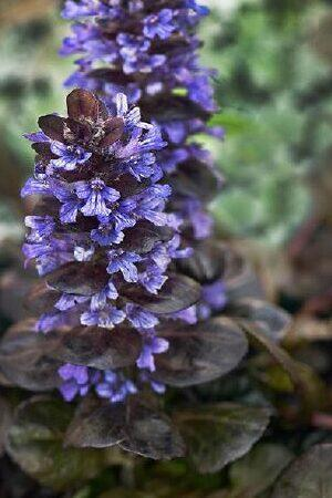 Ajuga Reptans Collection