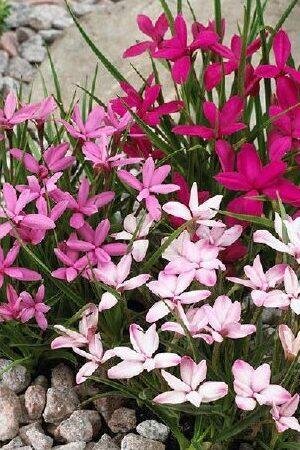 Rhodohypoxis Collection