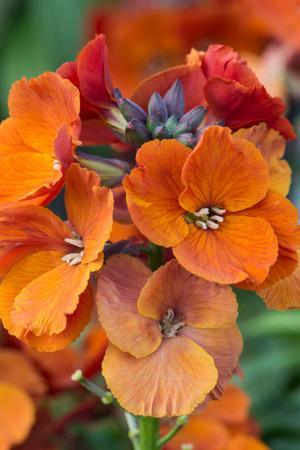 Erysimum Spring Breeze Copper