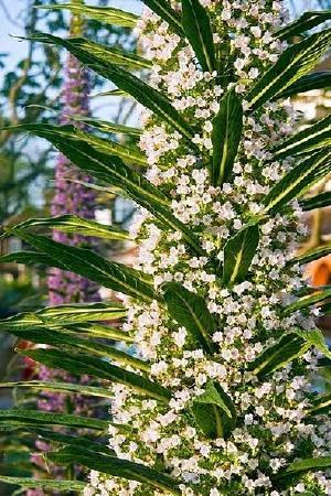 Echium pininana Snow Tower