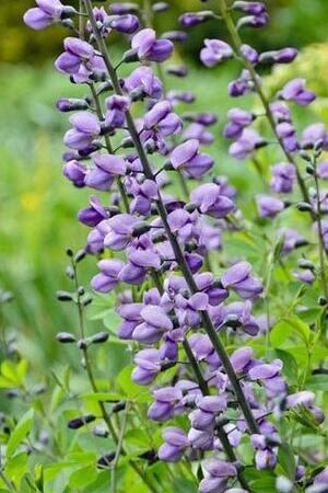 Baptisia Collection