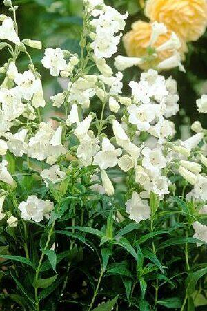 Penstemon Snow Storm