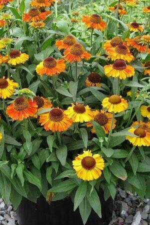Helenium Short and Sassy