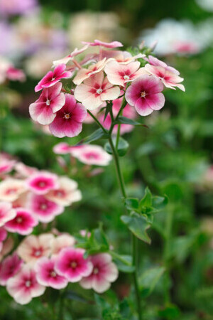 Phlox drummodii Collection