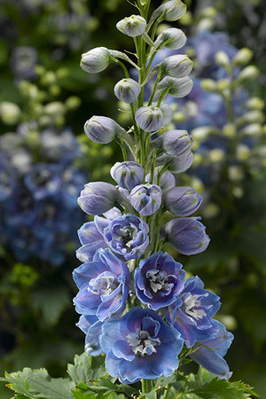 Delphinium Delphina Collection