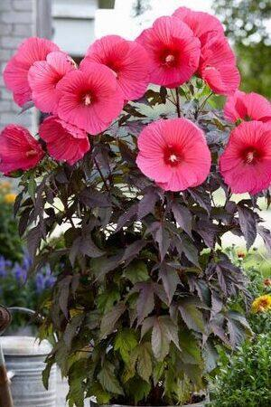 Hibiscus Moscheutos Carousel Pink Passion