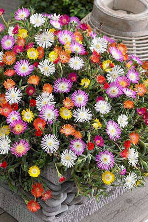 Delosperma Jewel Of The Desert