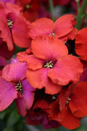 Erysimum Winter Passion