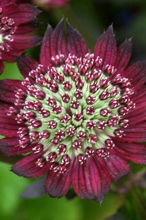 Astrantia Major Moulin Rouge