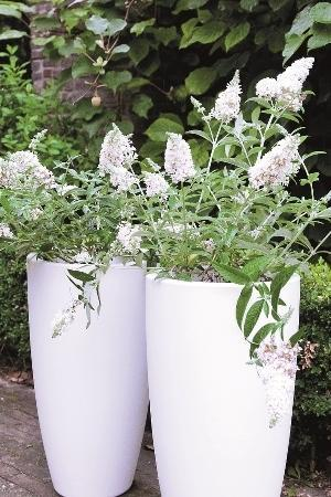 Buddleja Bloomtastic Dreaming White