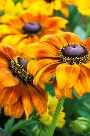 Rudbeckia Summerina Yellow
